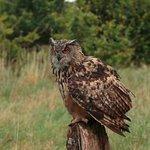 Tax the European Eagle Owl