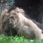 Animals at Paignton Zoo - Male Lion and well-grown cub