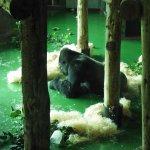 Animals at Paignton Zoo - Gorilla