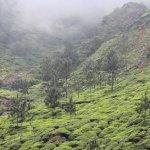 Tea plantations-2
