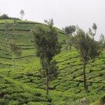 Tea plantations-4