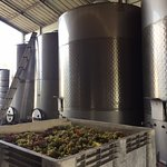 Chardonnay grapes arriving for processing