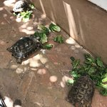 Riad Karmela's resident tortoises having lunch served by a staff member.