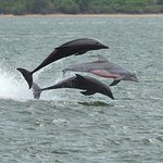 Dolphins, showing their pink bellies as they have fun riding the bow wave of a passing container