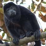 Local alpha howler monkey male in canopy