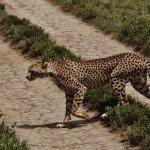 Spotted a Cheetah crossing the road — at Masai Mara. www.naturreiseneastafrica.com