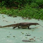 Big pregnant monitor lizard who lived beneath the dining room at Bilit.