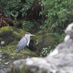 Heron Betws - y - Coed
