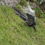 Black iguana spotted!