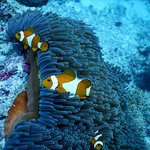 Diving Anemone Fish (Nemo)
