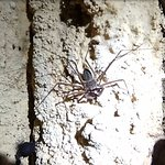 Scorpion Spider inside the cave. Harmless to humans. Very cool to see one!