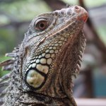 Green iguana named Parrot