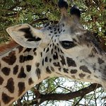 Giraffe with on eye on us