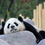 Sleepy Panda Cub!