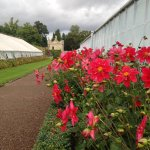 A grand display of dahlias along the side of the greenhouses