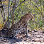 Always a special moment to share time with the elusive leopard.