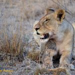 Lion resting after feeding on its kill