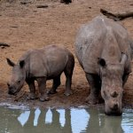 Mom and baby quench their thirst in uMkhuze Game Reserve
