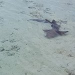 One of the many sharks in the water off Ship Channel Island.