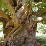 One of a number of old Sweet Chestnut trees