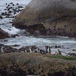 African Penguins, Boulders beach - coffeecameraandtheroad