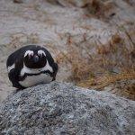 Nesting@Boulders beach - coffeecameraandtheroad