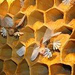 les abeilles nettoyeuses