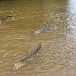 a few alligators