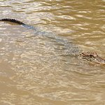 alligators swimming for a marshmallow