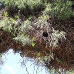 Parakeet nests