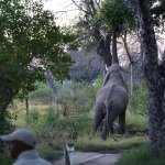 the bull elephant who visited us