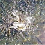 So many trout, so few fish pellets....