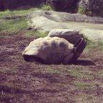 Giant Tortoise eating.