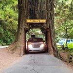 Drive through tree
