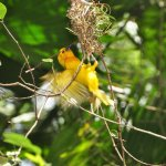 Having a guide with us gave us new insight to these little weaver birds - what a treat!