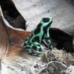 Black and green frog
