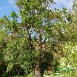 ancient Lucuma tree crowning the Chakra Gardens