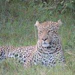 leopard at Mara