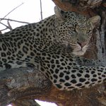 Leopard's rseting place