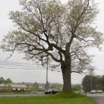 Seriously old Oak Tree. In 1935 it was thought to be about 200 yrs. old