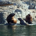 Steller Sea Lions Sunning