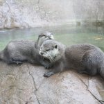 Great entertainment watching the otters