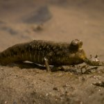 mudskippers galore