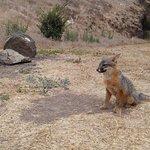 lots of friendly fox