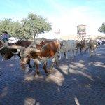 Photo of Fort Worth Herd