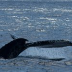 More whale's tail