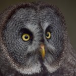 This is a Great Grey Owl from the Liberty's Owl Raptor and Reptile Centre