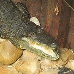 Morelet's crocodile