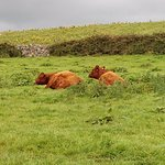Some peaceful cows -- careful with the atendant cow-pies