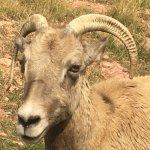 Longhorn goat